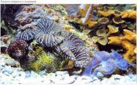 Ракушки-тридакны в аквариуме