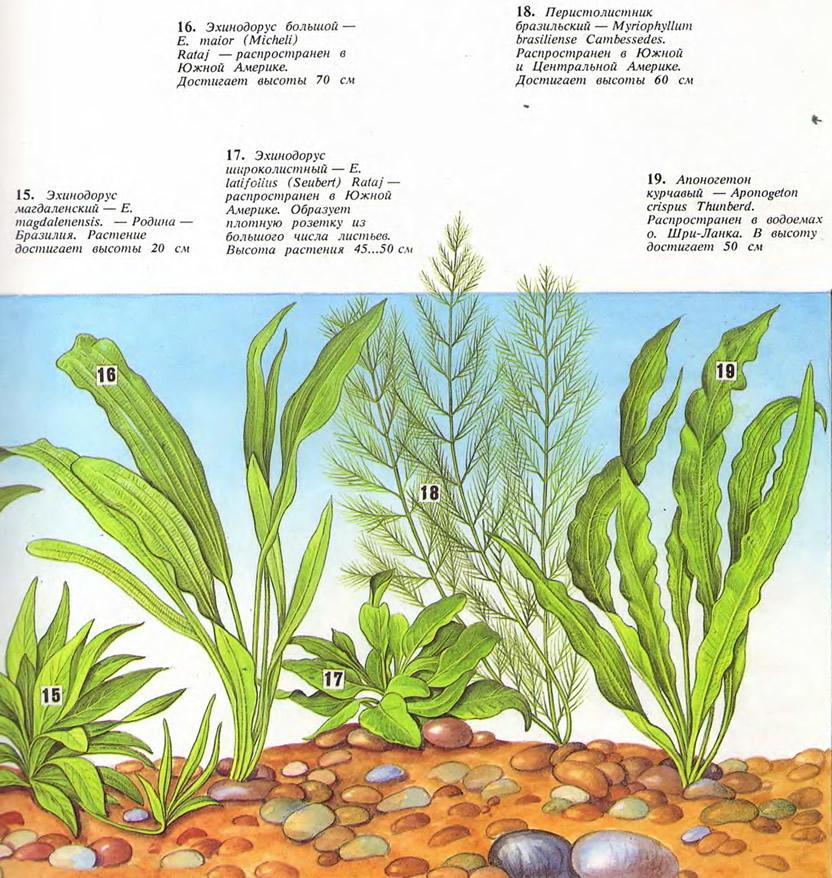 Растения: эхинодорус магдаленский, эхинодорус большой, эхинодорус широколистный...