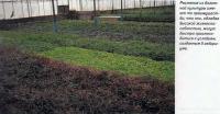 Растения из болотной культуры обладают высокой жизнеспособностью