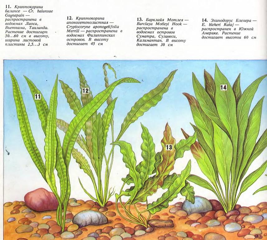 Растения: криптокорина балансе, криптокорина апоногетонолистная, барклайя Мотлея...