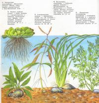 Растения: папоротник крыловидный, пистия, альтернантера сидячая...