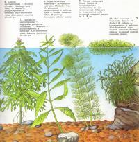 Растения: синема трехцветковая, гигрофилла многосемянная, перистолистник перистый...