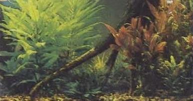 Растения в декоративном аквариуме - гигрофила и альтернантера