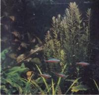 Растения в декоративном аквариуме - ротала круглолистная