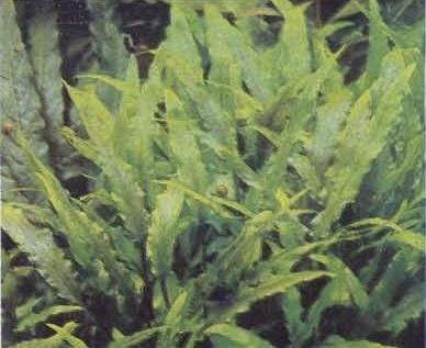 Растения в декоративном аквариуме - заросли криптокорины