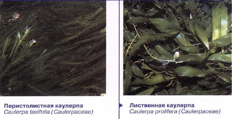 Разновидности каулерпы