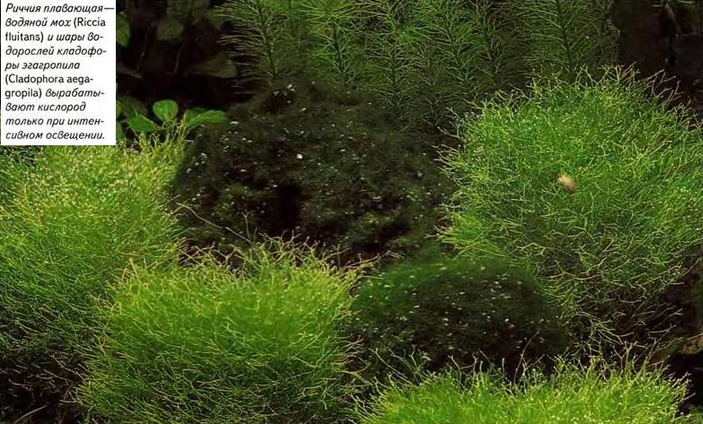 Риччи я плавающая - водяной мох