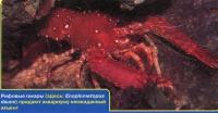 Рифовые омары