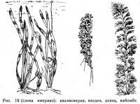 Рис. 10. Валлиснерия, элодея, денза, кабомба