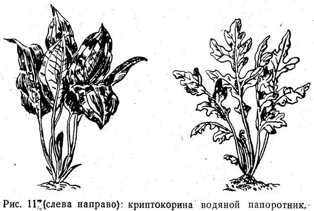 Рис. 11. Криптокорина, водяной папоротник