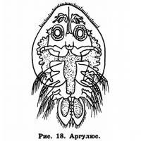 Рис. 18. Аргулюс