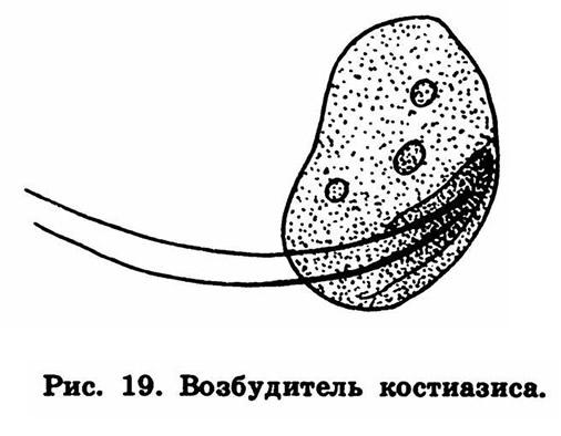 Рис. 19. Возбудитель костиазиса