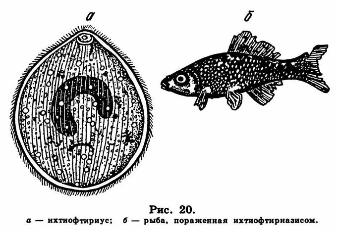 Рис. 20. Рыба, пораженная ихтиофтириаэисом