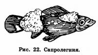 Рис. 22. Сапролегиия