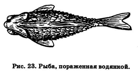 Рис. 23. Рыба, пораженная водянкой