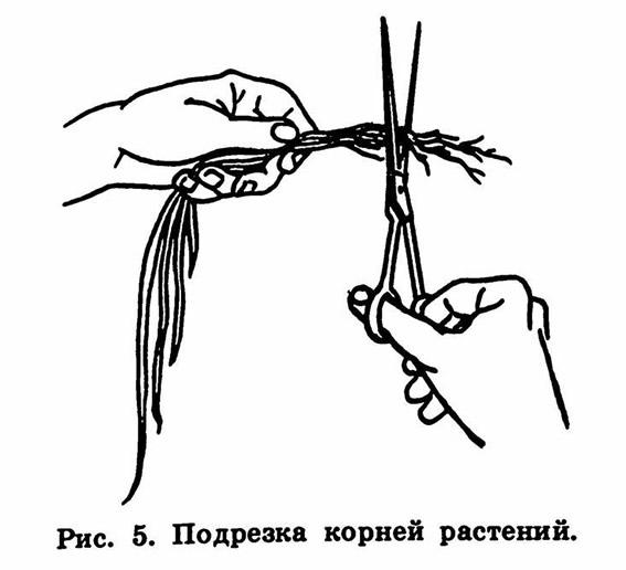 Рис. 5. Подрезка корней растений