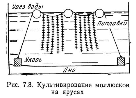 Рис. 7.3. Культивирование моллюсков на ярусах