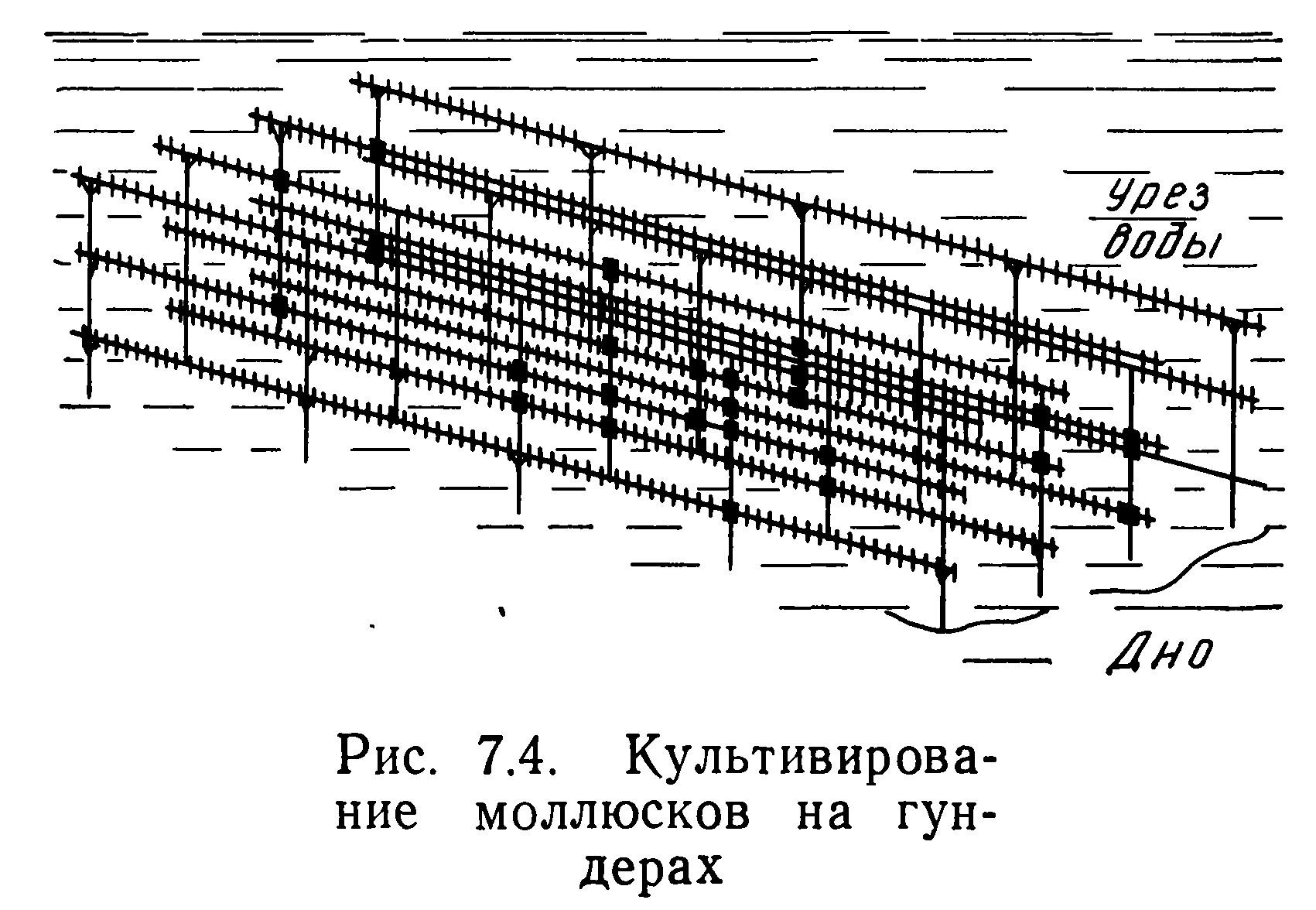 Рис. 7.4. Культивирование моллюсков на гундерах