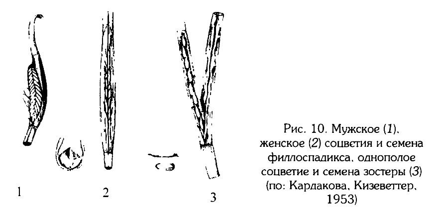 Рис.10. Мужское и женское соцветие филлоспадикса
