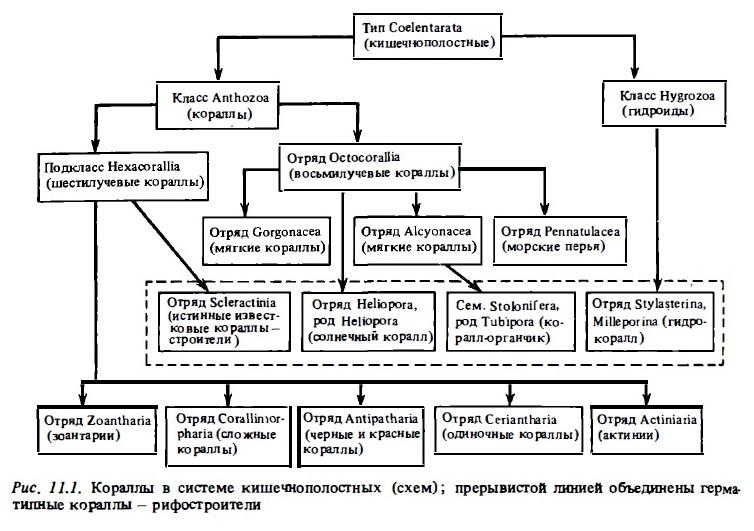 Рис.11.1. Кораллы в системе кишечнополостных