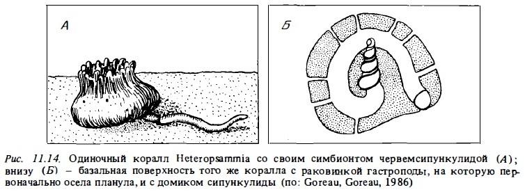 Рис.11.14. Одиночный коралл Heteropsammia