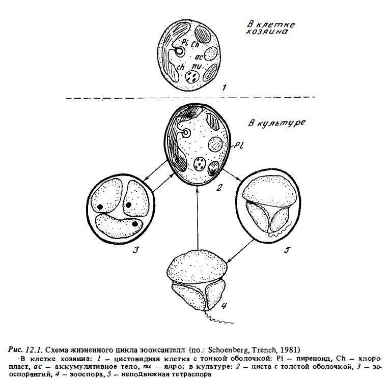 Рис.12.1. Жизненный цикл зооксантелл