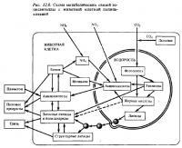 Рис.12.8. Метаболические связи с клеткой полипа-хозяина