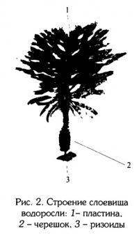 Рис.2. Строение слоевища водоросли