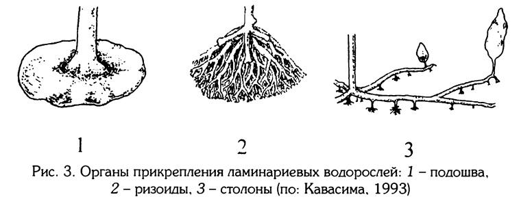 Рис.3. Органы приклепления ламинаериевых водорослей