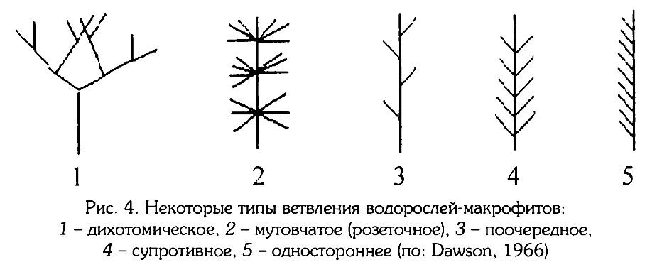 Рис.4. Некоторые типы ветвления макрофитов