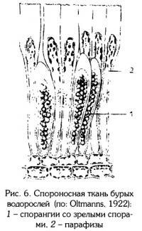 Рис.6. Спороносная ткань бурых водорослей