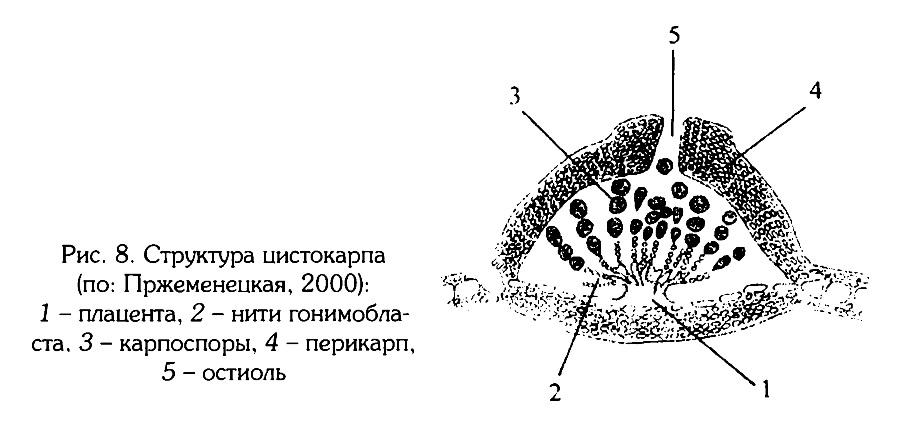 Рис.8. Структура цистокарпа