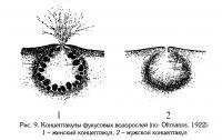 Рис.9. Концептакулы фукусовых водорослей
