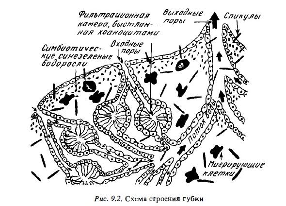 Рис.9.2. Схема строения губки