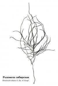 Родомела сибирская