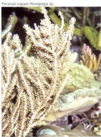 Рогатый коралл Pinnigorgia sp.
