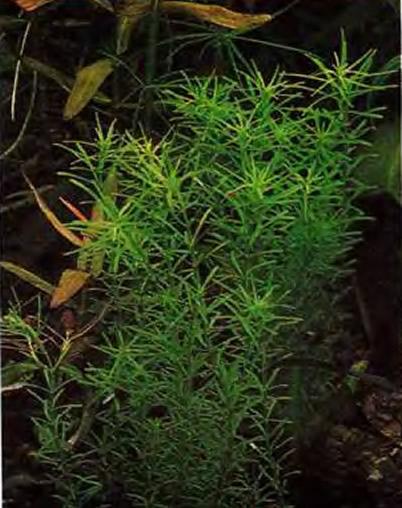Ротала (Rotala sp.)