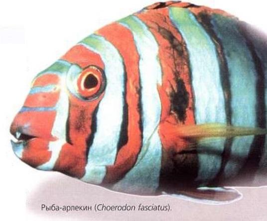Рыба-арлекин (Choerodon fasciatus)