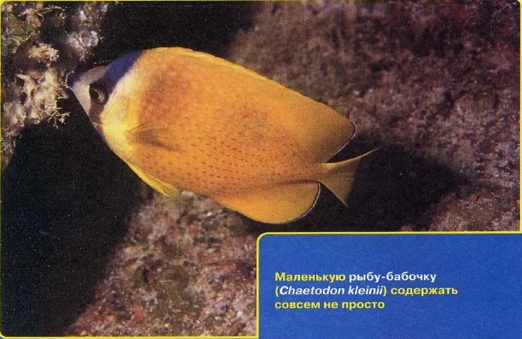 Рыба-бабочка непроста в содержании