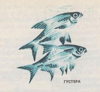 Рыба Густера