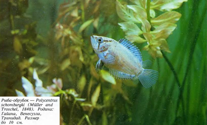 Рыба-обрубок
