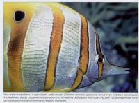 Рыба-пинцет (Chelmon rostratus)