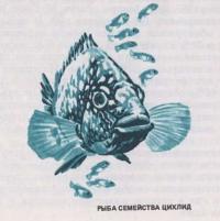 Рыба семейства цихлид