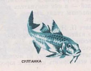 Рыба Султанка