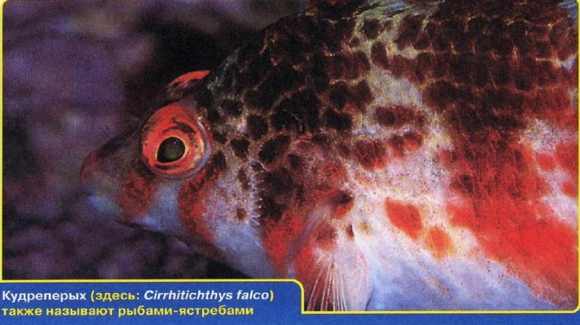 Рыба-ястреб
