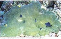 Рыбка-домино (Dascyllus trimaculatus)