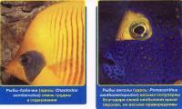 Рыбы-бабочки и -ангелы