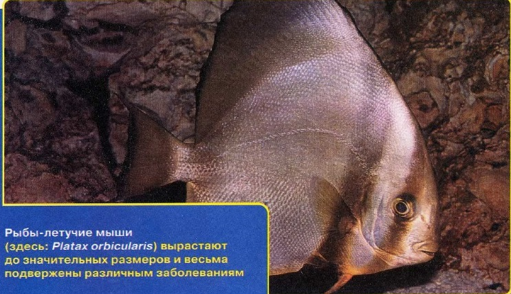 Рыбы-летучие мыши