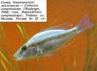 Самец длиннорылого хаплохрома