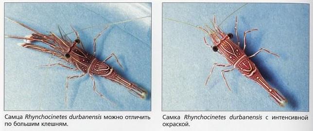 Самец и самка Rhynchocinetes durbanensis